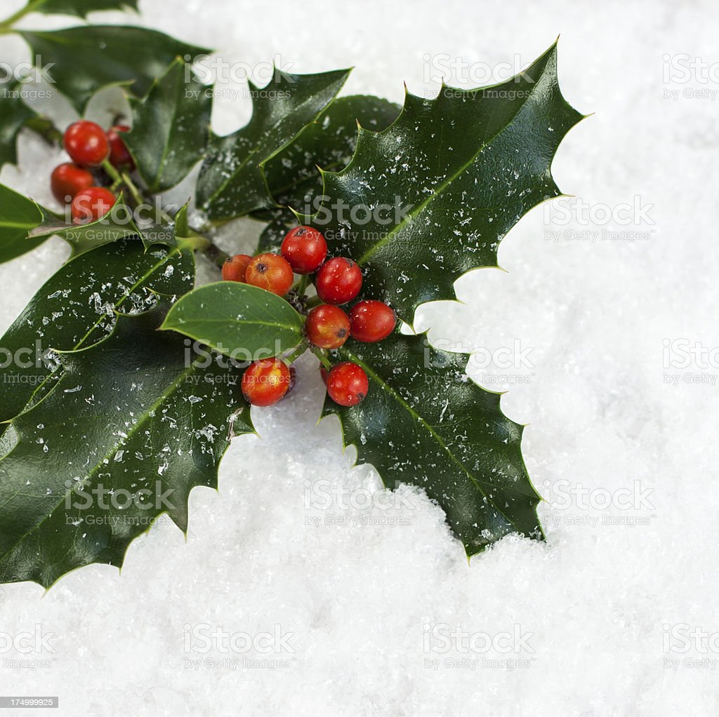 Piece of Christmas Holly on snow background  stock photo