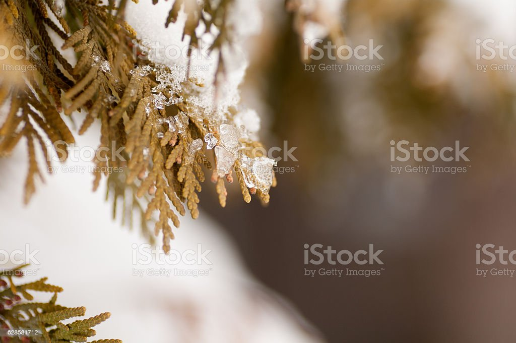 pieces of ice on the branch of a thuja stock photo