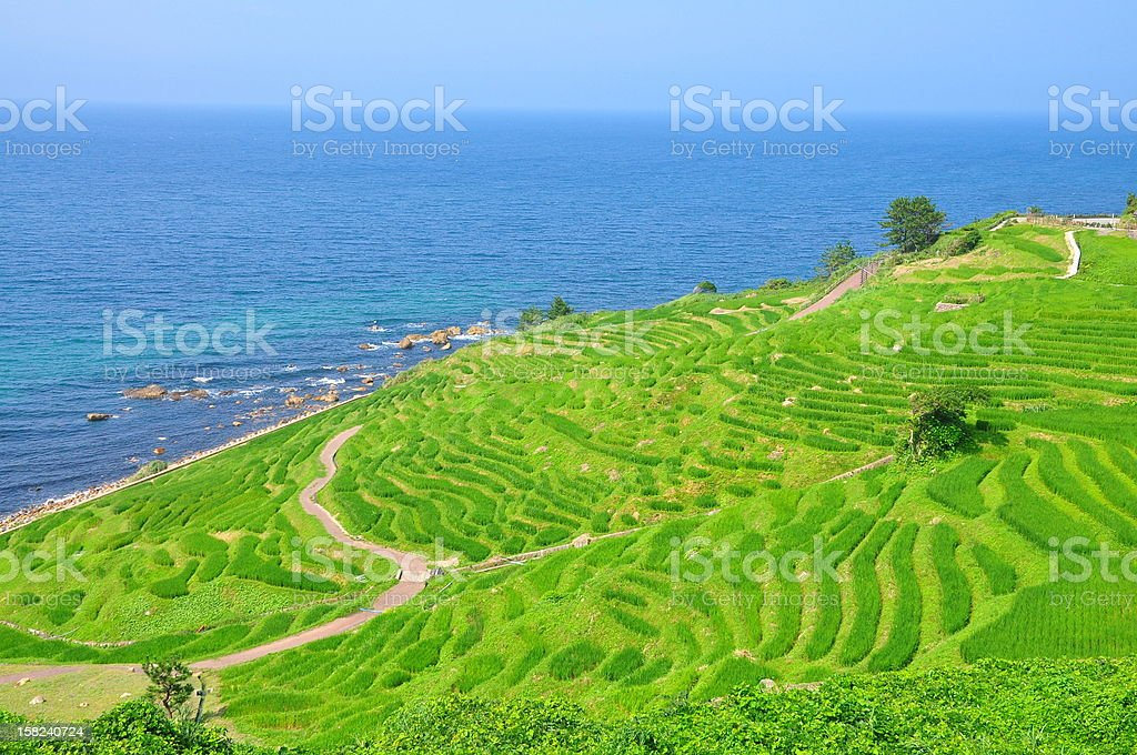 1,000 pieces of rice fields stock photo