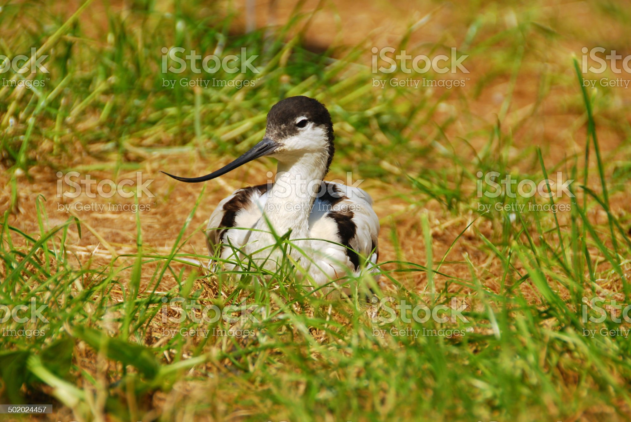 Pied avocet laying in front of the Camera. royalty-free stock photo