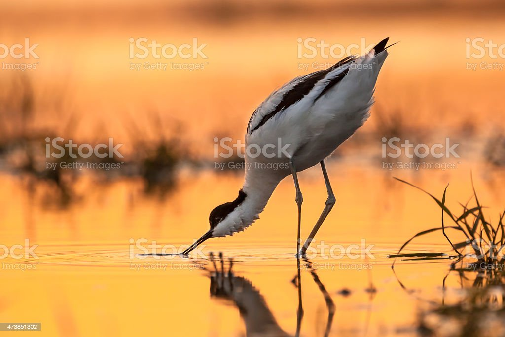 pied avocet picking up food from water stock photo