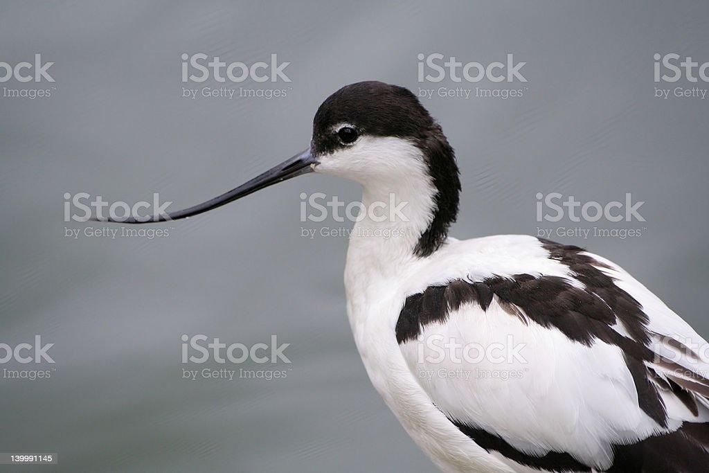 Pied avocet (recurvirostra avosetta) stock photo