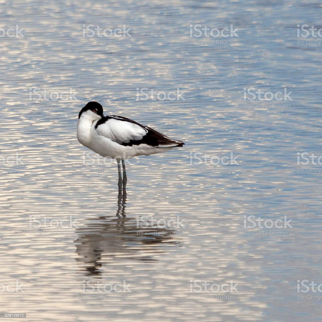 Pied Avocet, Recurvirostra avosetta: resting but alert in water; Etosha_NP stock photo