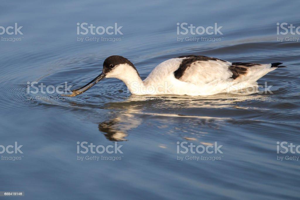 Pied Avoset (Recurvirostra avosetta) looking for food stock photo