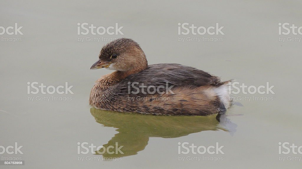Pied Billed Grebe stock photo