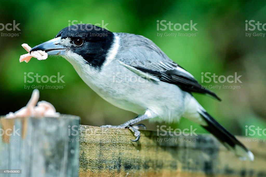 Pied Butcher Bird eating stock photo
