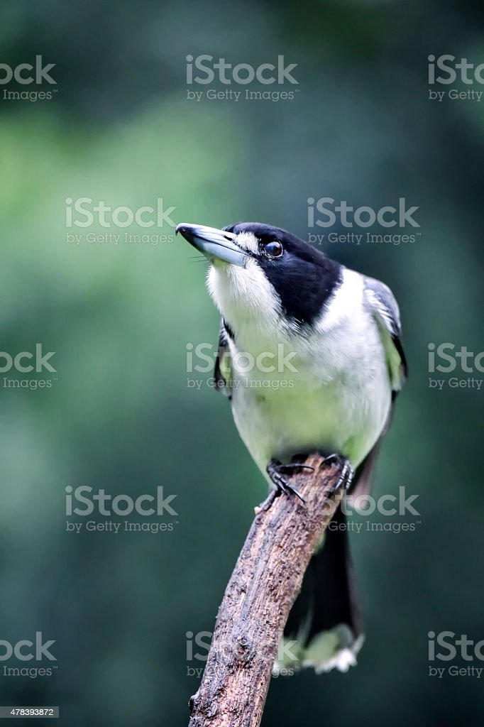 Pied Butcher Bird perched on a stick stock photo
