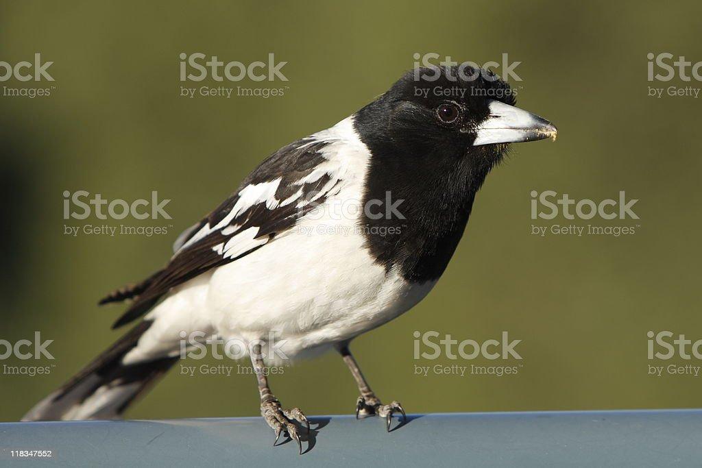 Pied Butcherbird stock photo