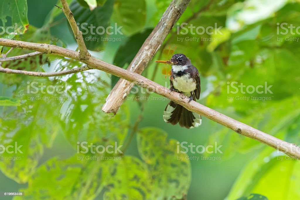Pied Fantail bird in black white with dragonfly in beak stock photo