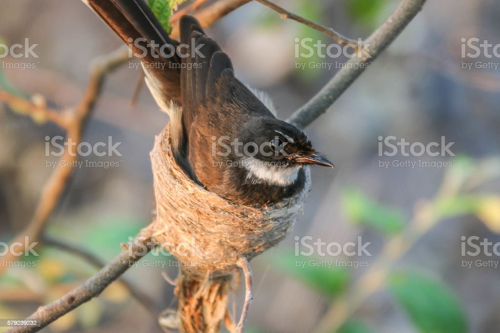 Pied Fantail stock photo