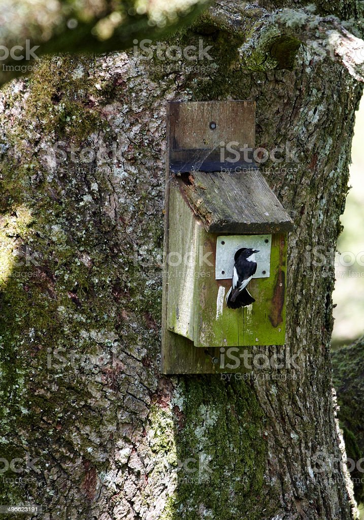 Pied flycatcher at nestbox stock photo
