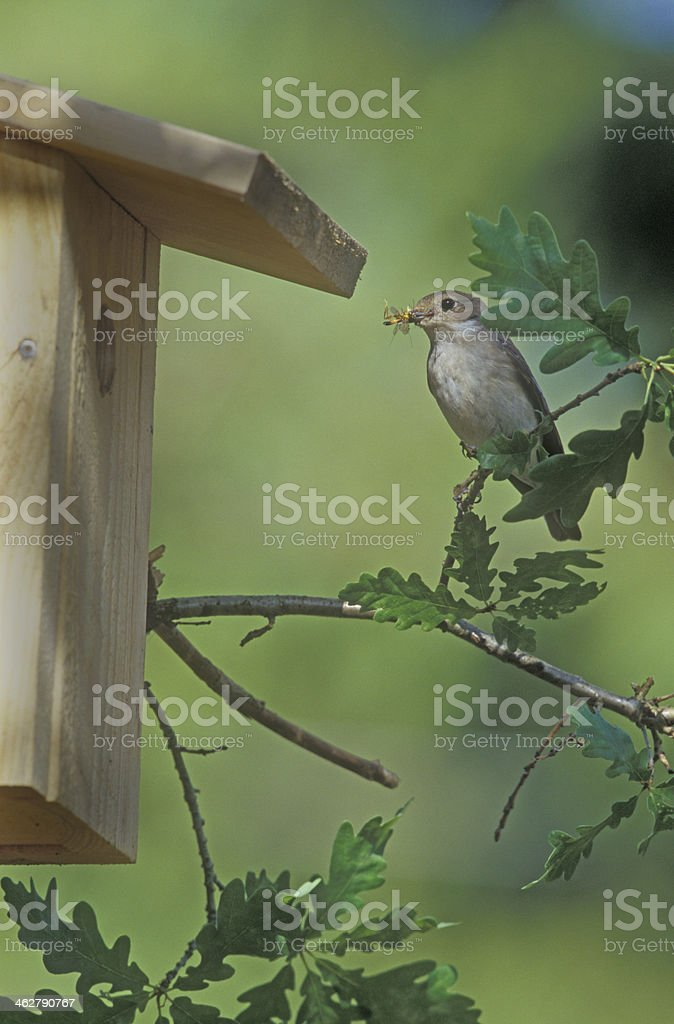 Pied flycatcher,  Ficedula hypoleuca stock photo