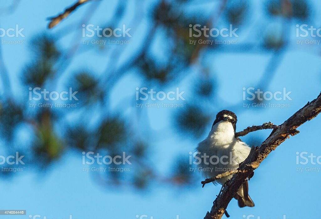 Pied Flycatcher in a tree stock photo