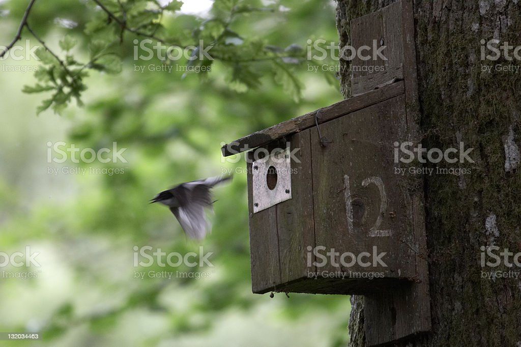 Pied flycatcher leaving nestbox royalty-free stock photo
