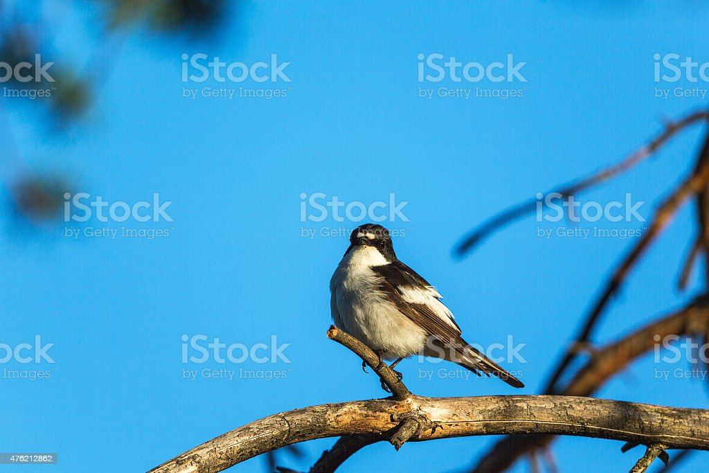 Pied Flycatcher on a branch stock photo