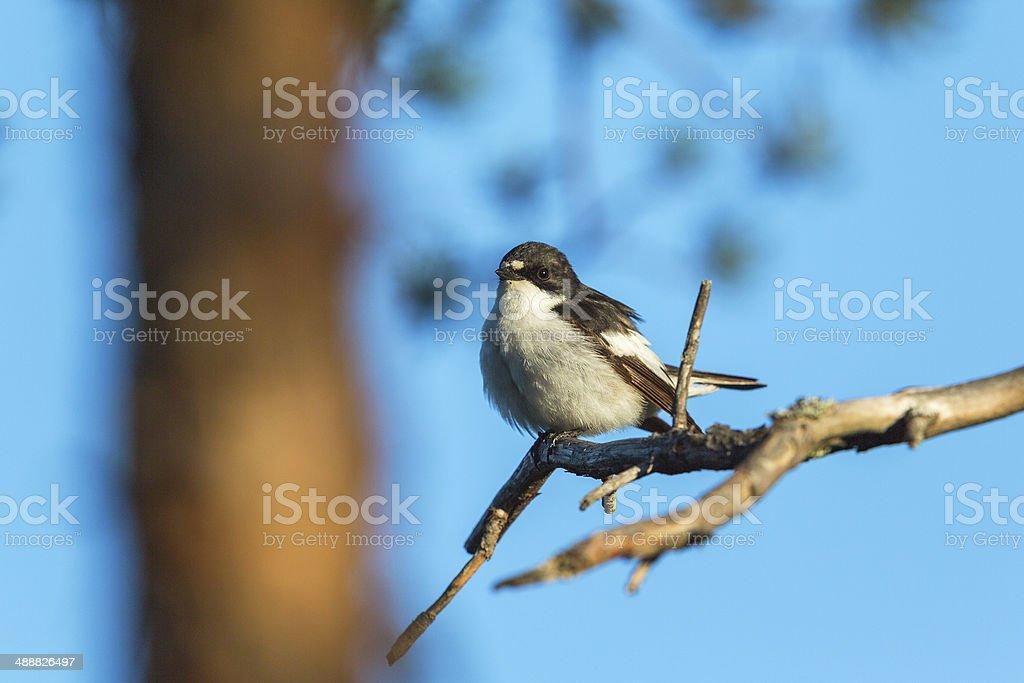 Pied Flycatcher on a tree branch stock photo