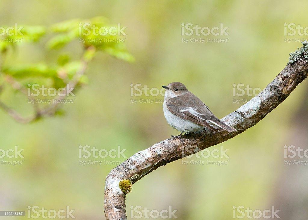 Pied Flycatcher (Female) stock photo