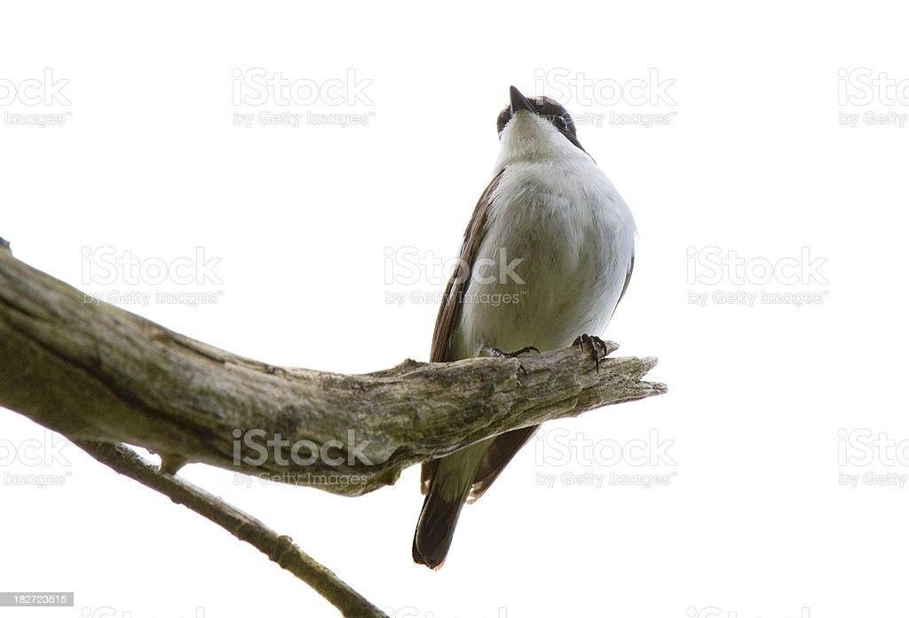 Pied Flycatcher (Ficedula hypoleuca) stock photo