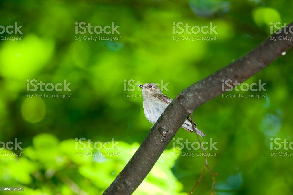 Pied Flycatcher (Ficedula hypoleuca, Muscicapa hypoleuca). stock photo