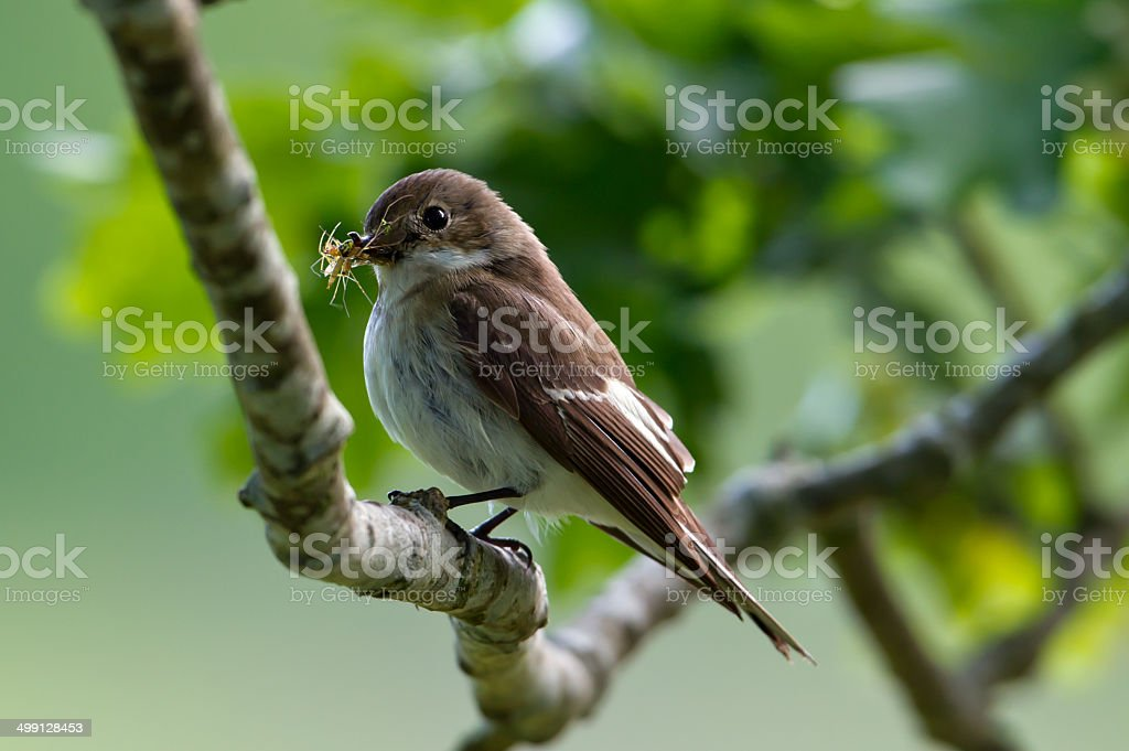 Pied Flycatcher stock photo