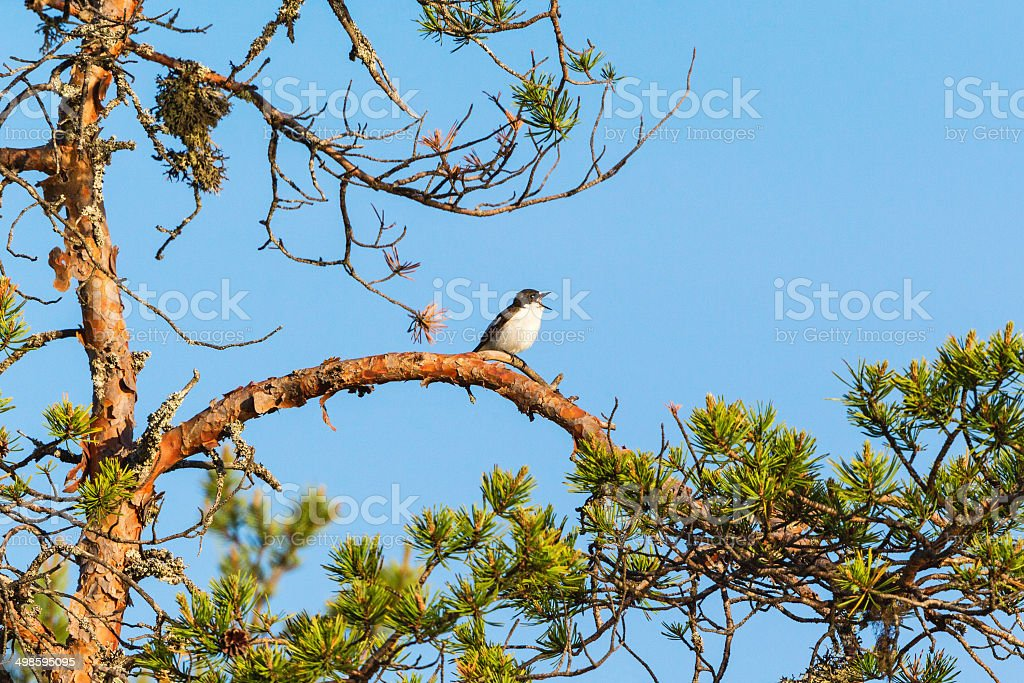 Pied Flycatcher sitting and singing stock photo