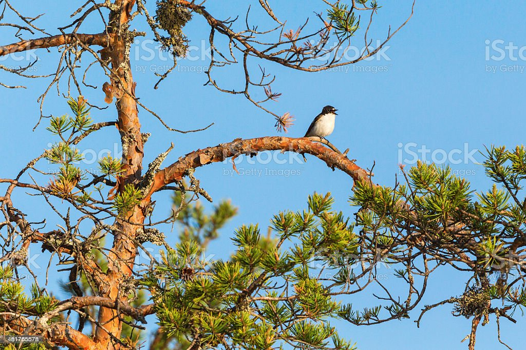 Pied Flycatcher sitting on a tree branch stock photo