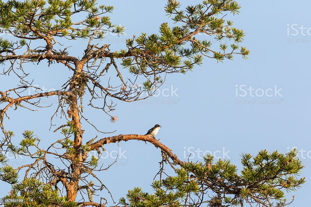 Pied Flycatcher sitting on a tree branch stock photo