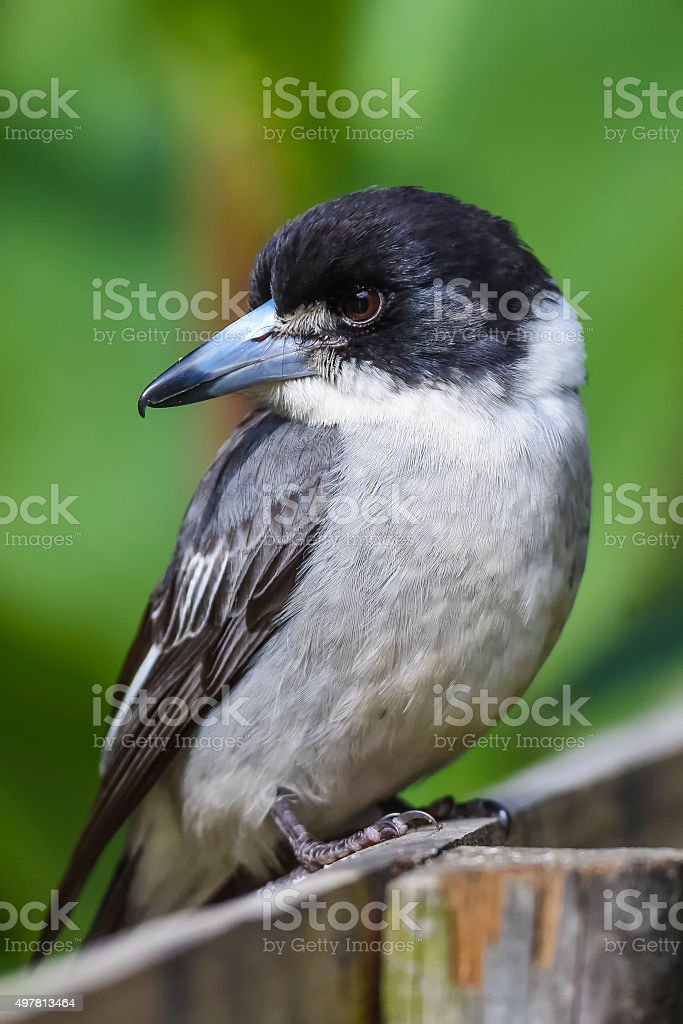 Pied grey butcher bird stock photo