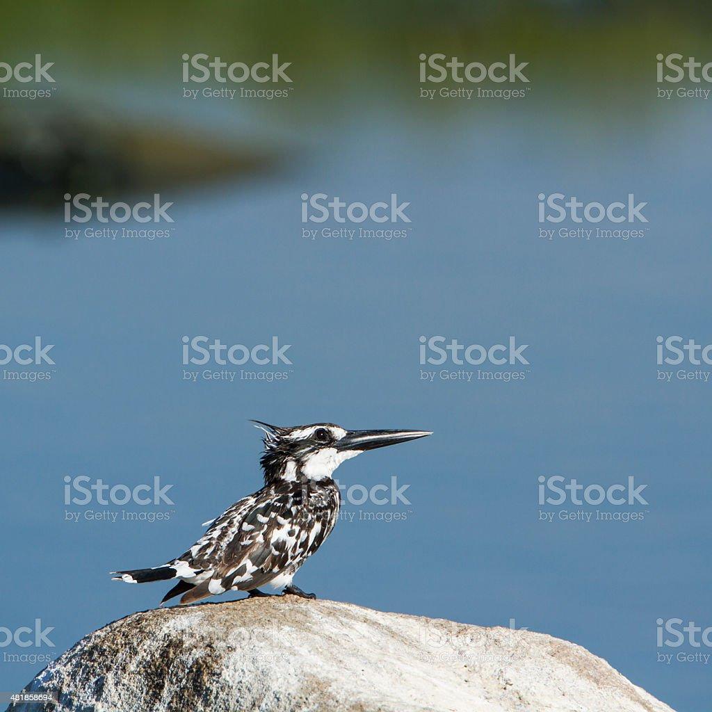 Pied kingfisher bird in Pottuvil, Sri Lanka stock photo