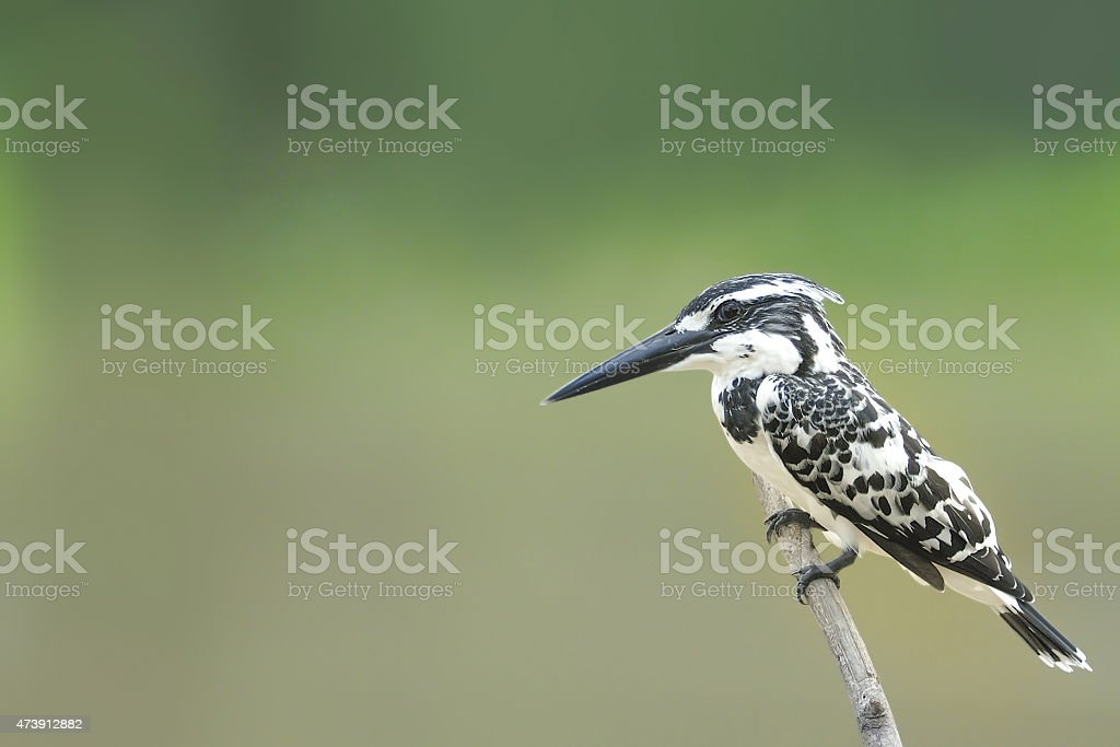 Pied Kingfisher , Bird perching over the pond in THAILAND. stock photo