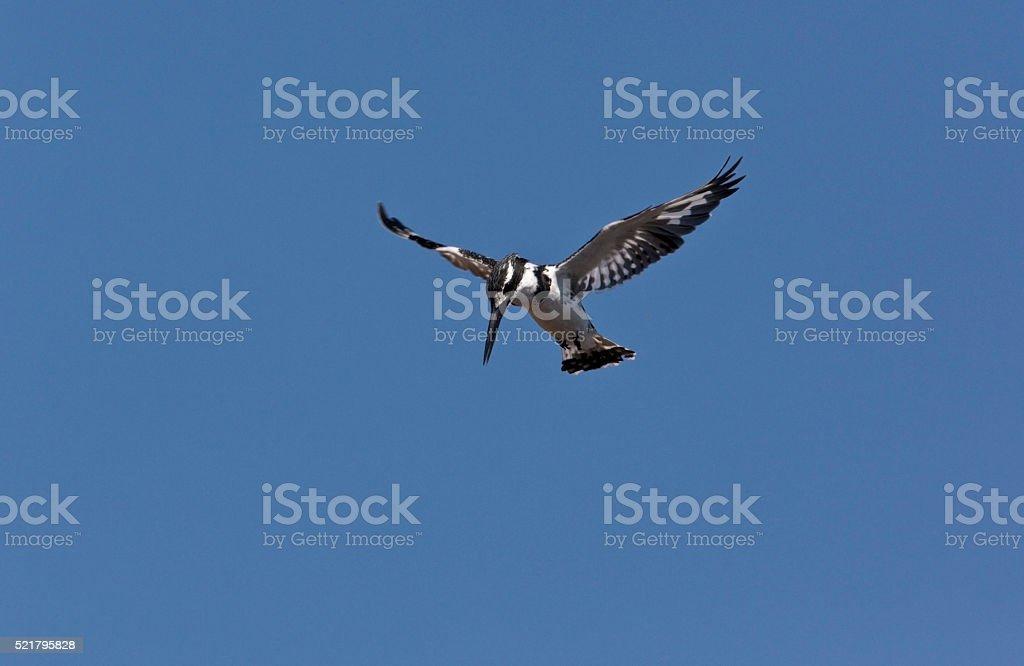 Pied Kingfisher - Botswana stock photo
