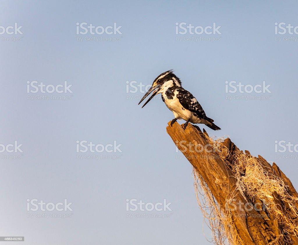 Pied Kingfisher, Ceryle rudis, female: Satpura National Park, India stock photo