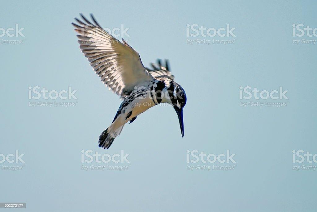 Pied Kingfisher, Ceryle rudis hunting stock photo