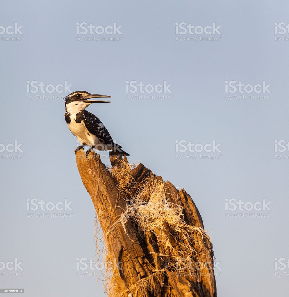 Pied Kingfisher, Ceryle rudis, perched on snag stock photo