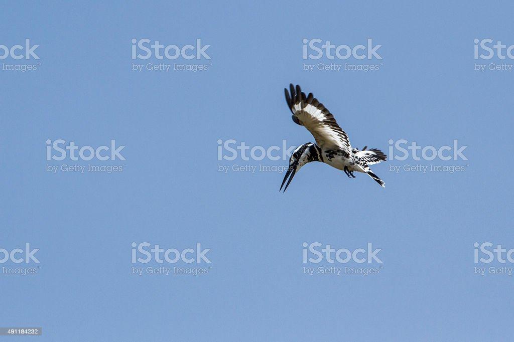 Pied kingfisher flying isolated in blue sky, Sri Lanka stock photo