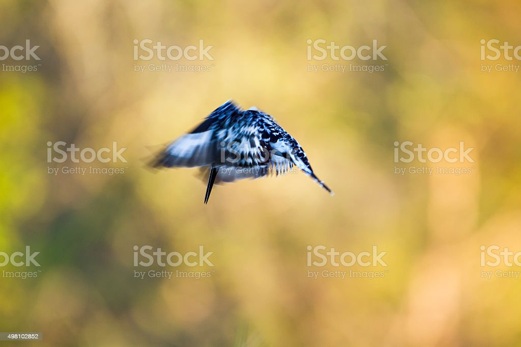 Pied kingfisher in Kruger National park stock photo