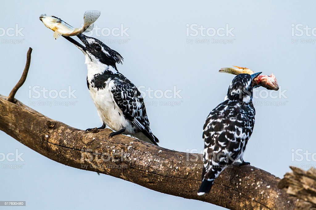 Pied kingfisher in Kruger National park, South Africa stock photo