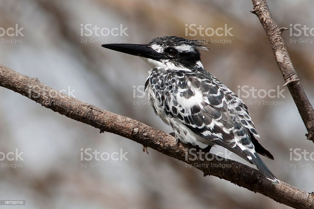 Pied Kingfisher on Branch royalty-free stock photo