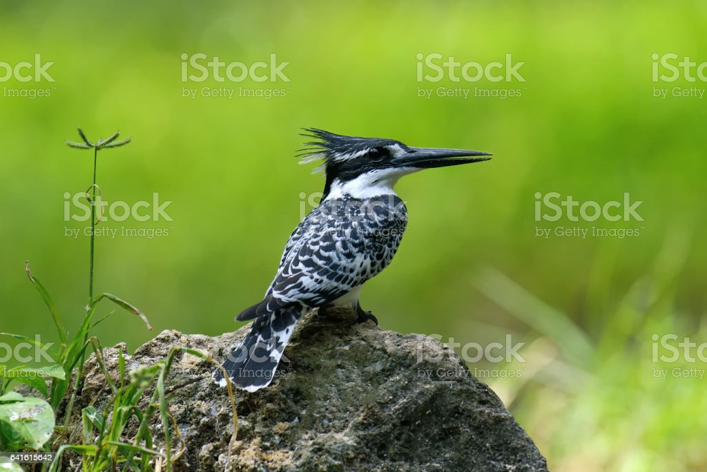 Pied Kingfisher on stone stock photo