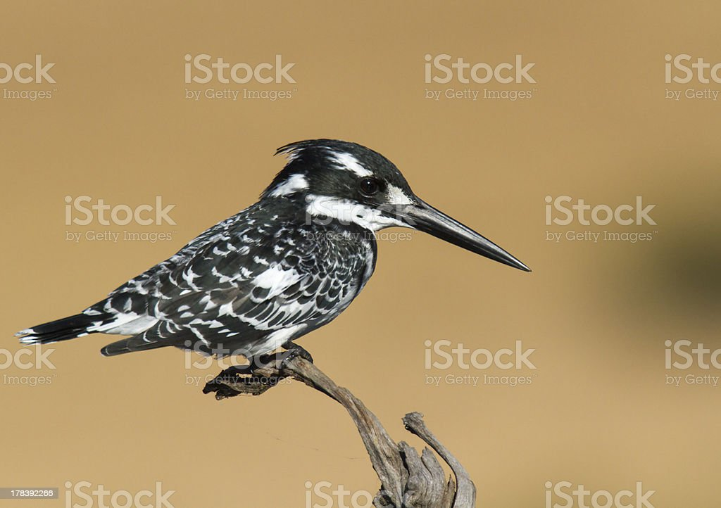Pied Kingfisher leżącej przed super tle zbiór zdjęć royalty-free