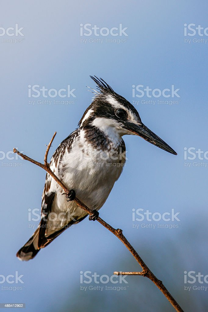 Pied kingfisher (Ceryle rudis) perched on a branch, South Africa stock photo