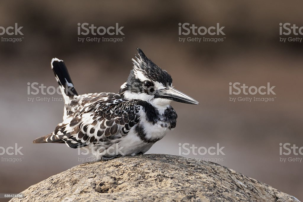 Pied Kingfisher perched on a rock stock photo