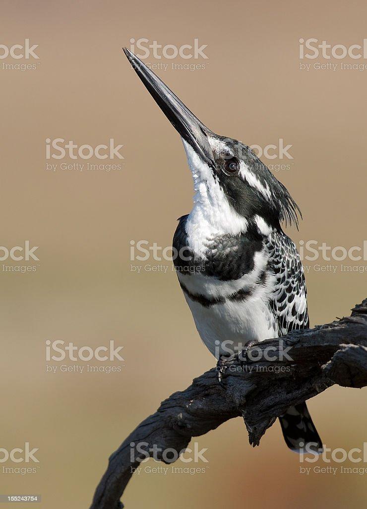 Pied Kingfisher zbiór zdjęć royalty-free