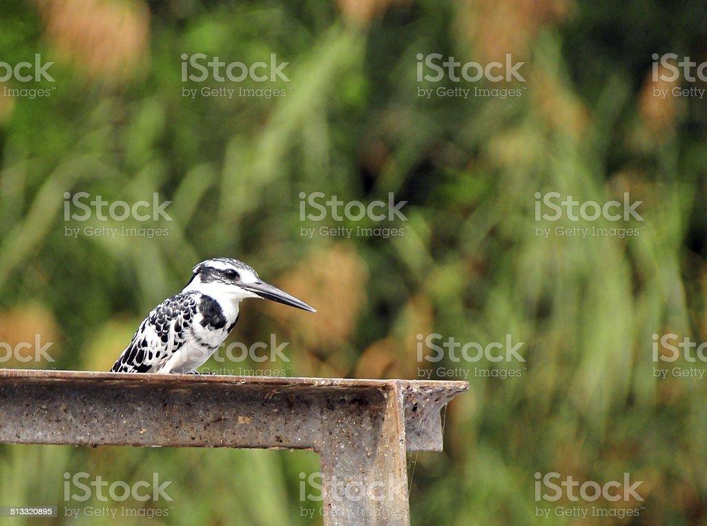 Pied kingfisher (Ceryle rudis) stock photo