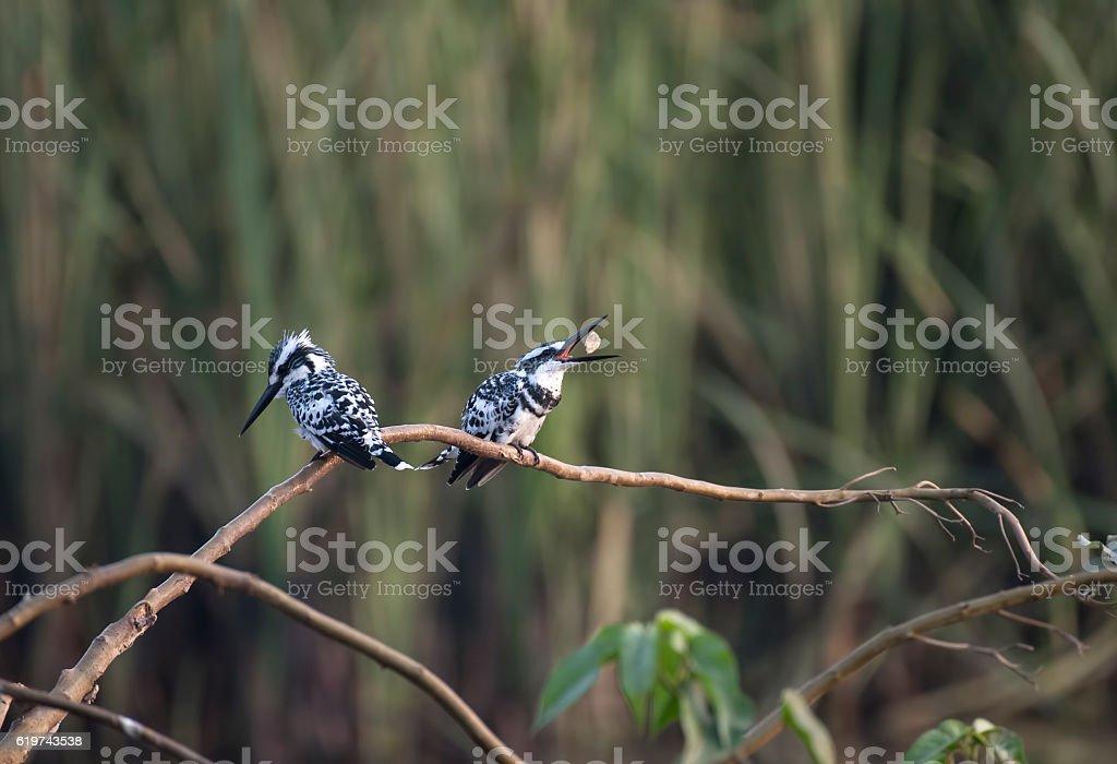 Pied kingfisher stock photo