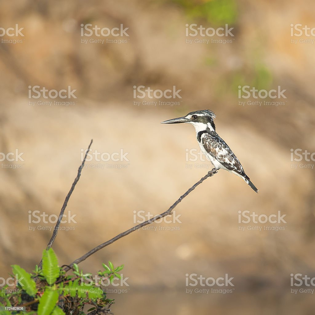 Pied Kingfisher (Ceryle rudis) sitting in a bush royalty-free stock photo