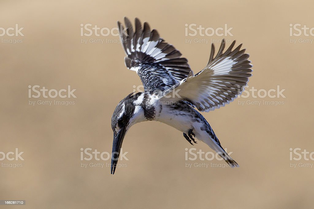 Pied Kingfisher (Ceryle rudis) South Africa stock photo
