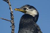 Pied Shag Cormorant
