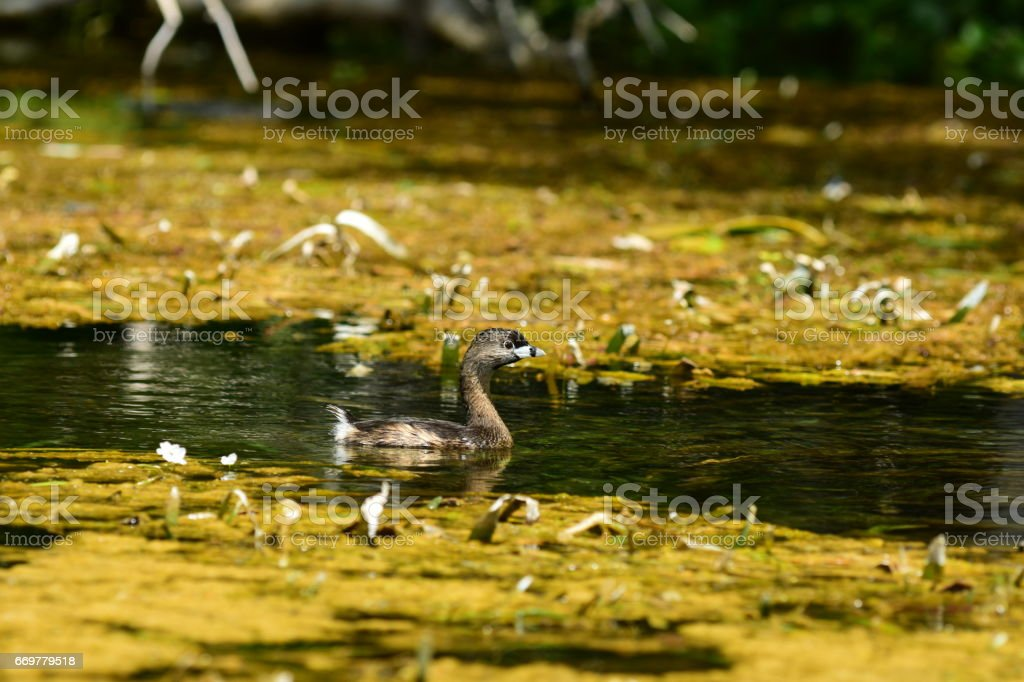 Pied-billed Grebe paddling betwen mats of vegetation stock photo