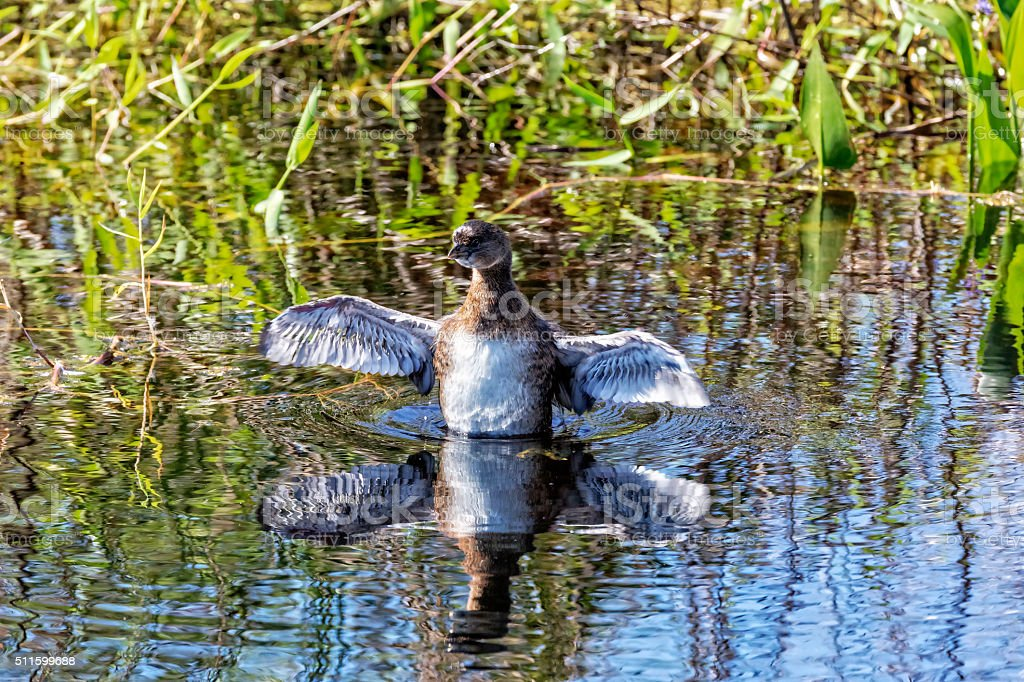 Pied-billed Grebe Shows Off His Wings stock photo